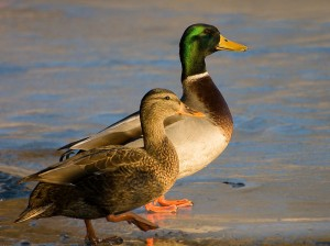 Male_and_Female_mallard_ducks