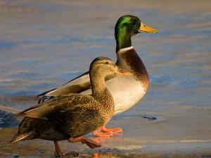 Male_and_Female_mallard_ducks